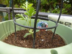 スイカとカボチャを植えました!